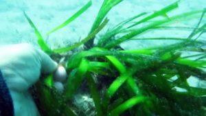ANTALYA – Teknelerin çapa ve zincirleri 'Akdeniz'in akciğeri' olarak bilinen deniz çayırlarına zarar veriyor