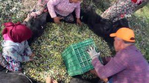 Bahçeden şişeye zeytinyağının öyküsü