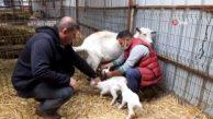 Burhaniye'de Beşiz Doğuran Akkız Sahibini Sevindirdi