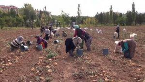 Solucan gübresi kullanılan arazide patates verimi arttı
